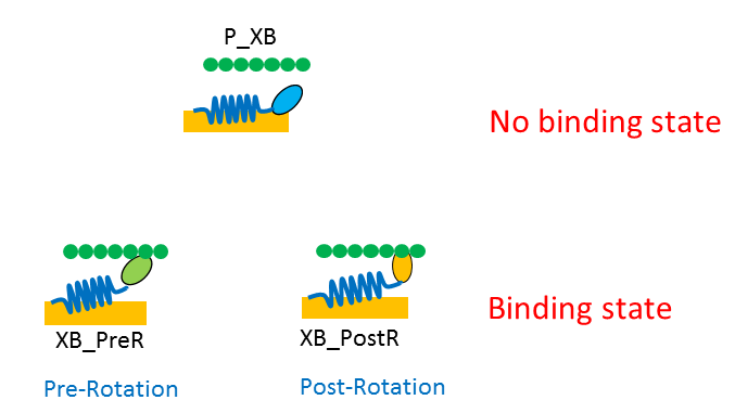 3-state model composed of one no binding state (P_XB) and two binding states (XB_PreR and XB_PostR)