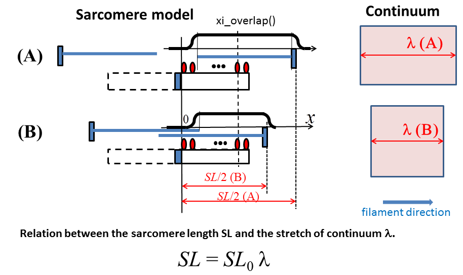 Relation between the sarcomere length and the stretch of continuum
